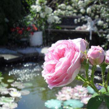 Pastellfarger i hagen, engler og roseblomstring