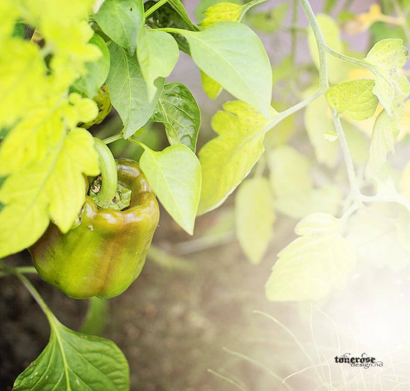 Rosa kjøkkenhage paprika grønnsakshage KL5A3769