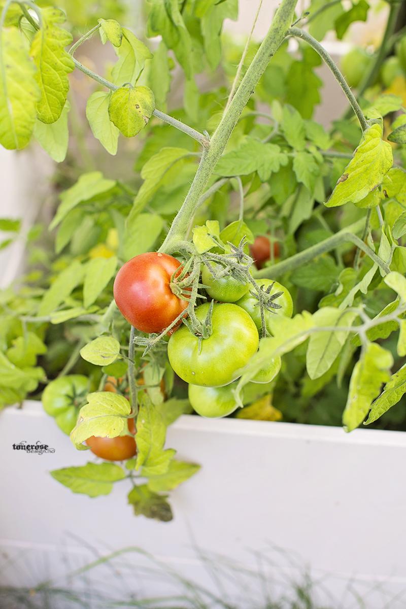 Rosa kjøkkenhage tomater grønnsakshage KL5A3754