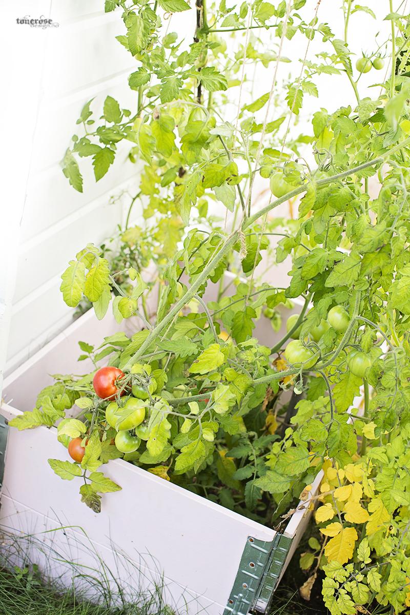 Rosa kjøkkenhage tomater grønnsakshage KL5A3757