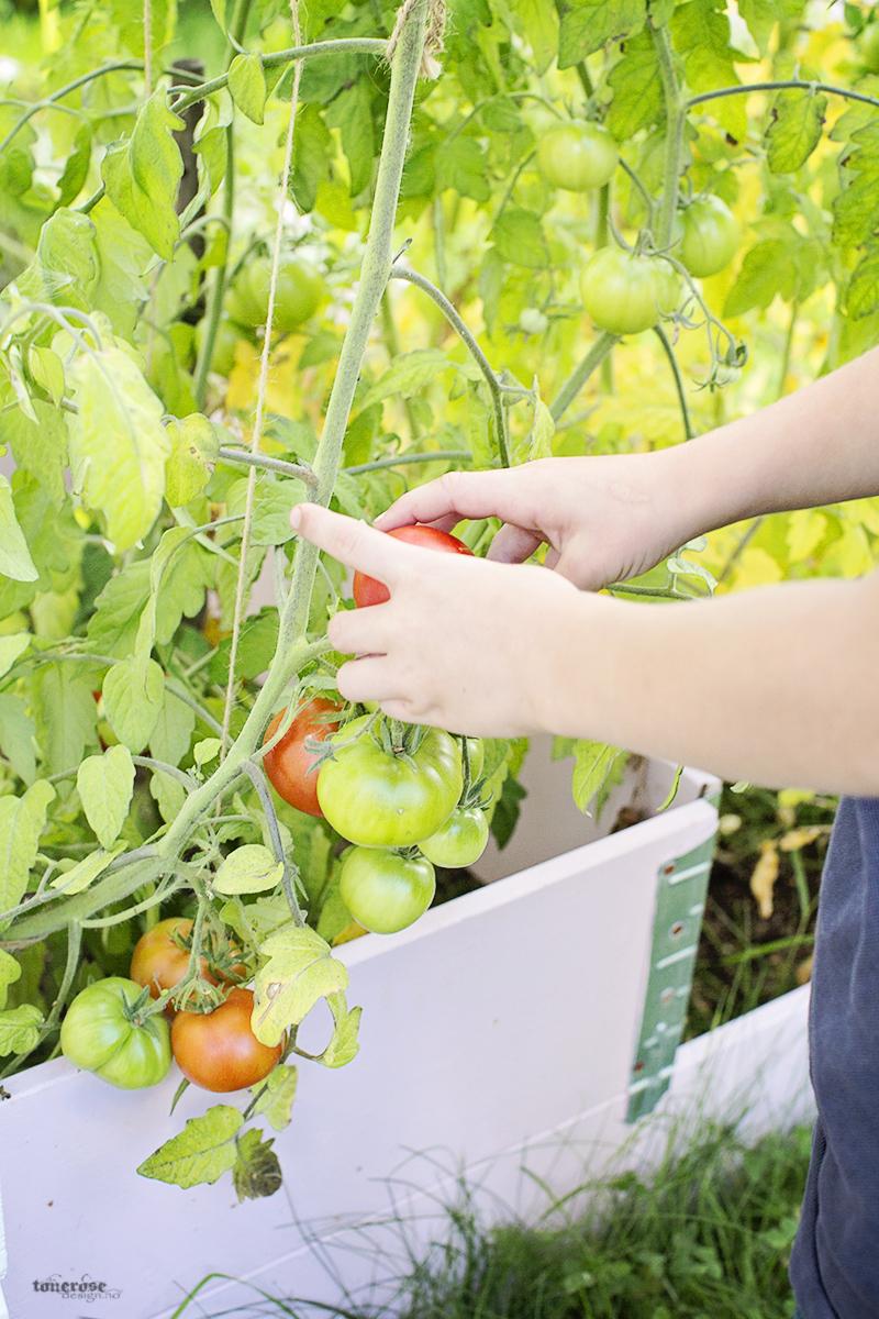 Rosa kjøkkenhage tomater grønnsakshage KL5A3783